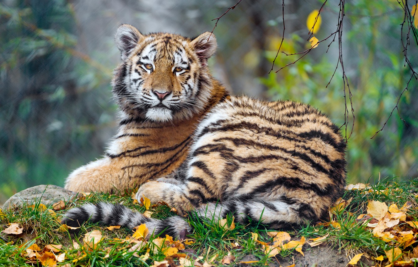 Photo wallpaper autumn, look, face, leaves, nature, tiger, background, foliage, baby, lies, tiger, bokeh, tiger