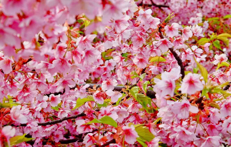 Photo wallpaper branches, cherry, color, spring, Sakura, blossom, cherry, spring