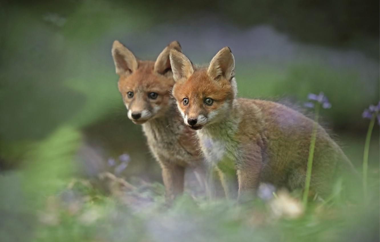 Photo wallpaper blur, Fox, a couple, cubs, cubs