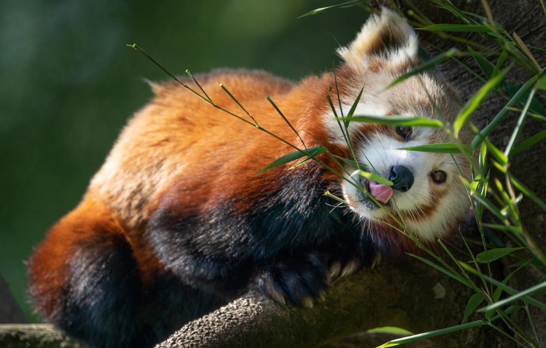 Photo wallpaper leaves, nature, tree, animal, red Panda, red Panda
