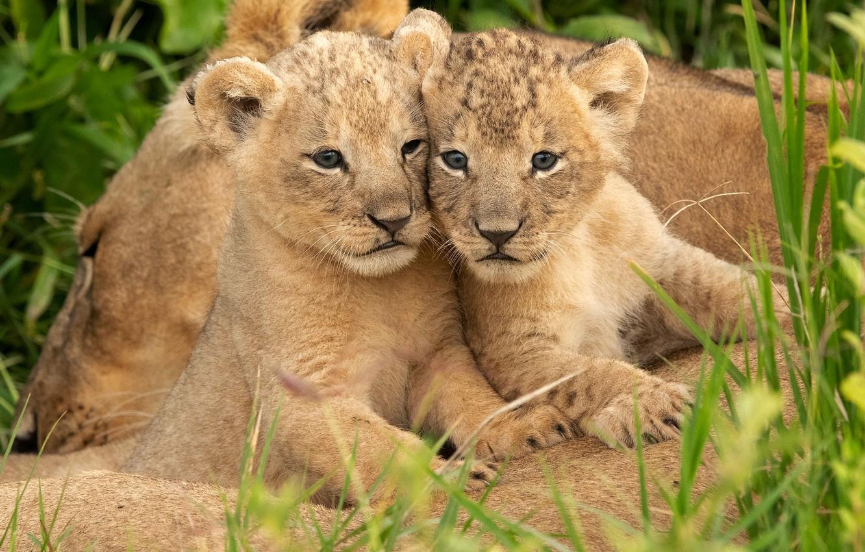 Photo wallpaper grass, kittens, wild cats, lions, the cubs, a couple, lioness, cubs