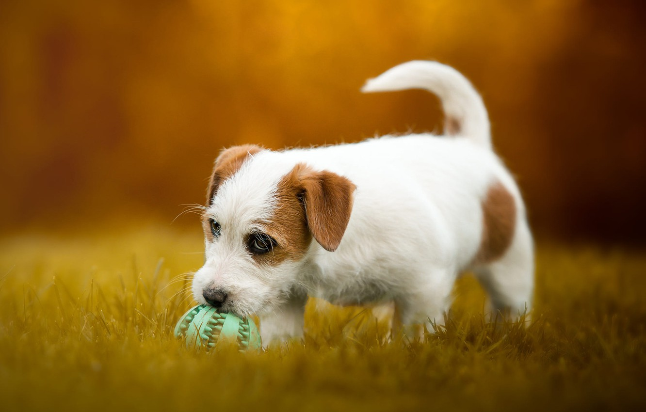 Photo wallpaper autumn, grass, look, face, orange, nature, pose, background, glade, the game, the ball, dog, baby, …