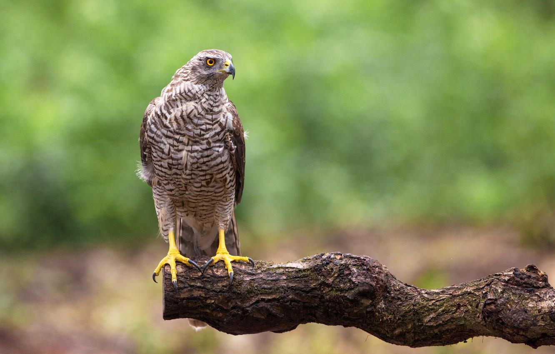 Photo wallpaper bird, predator, Goshawk