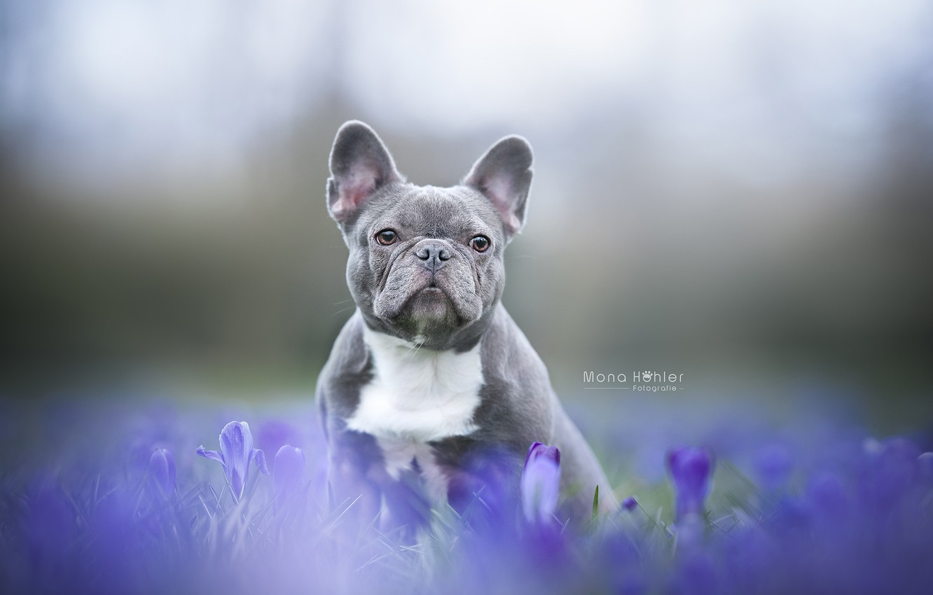 Photo wallpaper look, flowers, background, dog, face, doggie, French bulldog