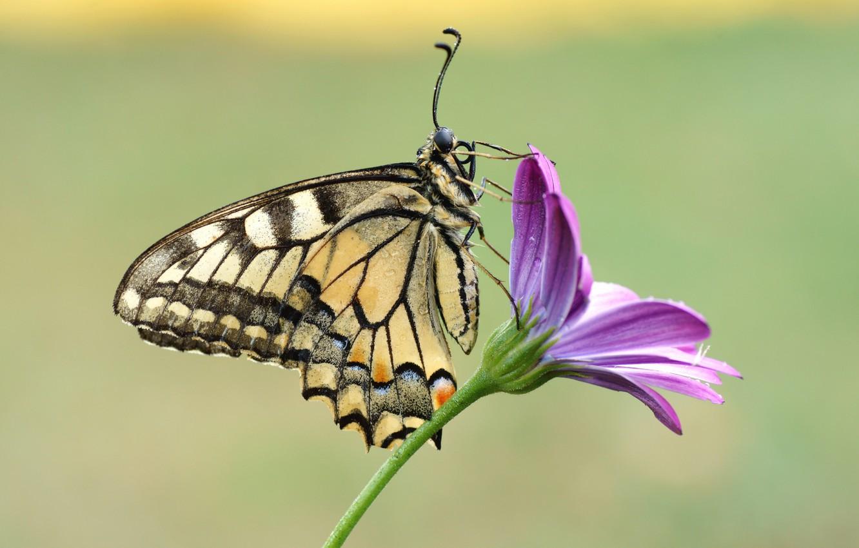 Photo wallpaper flower, butterfly, swallowtail