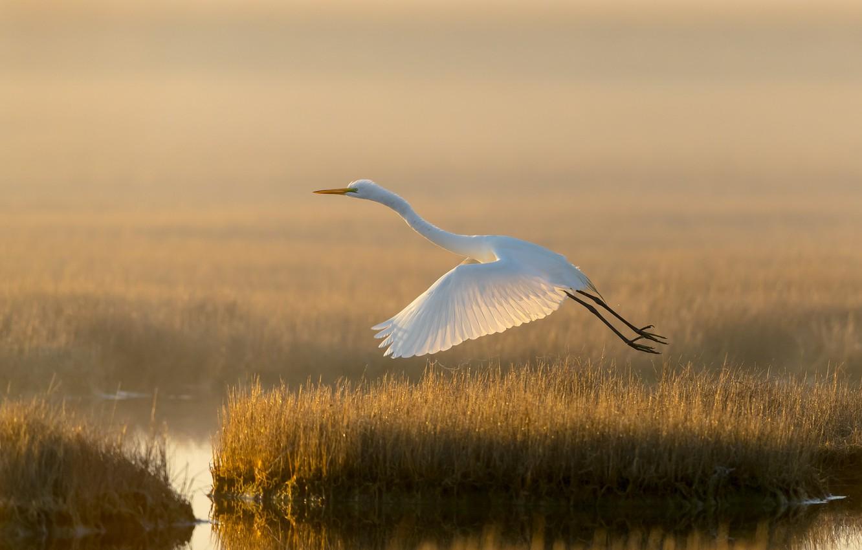 Photo wallpaper light, lake, bird, swamp, white egret