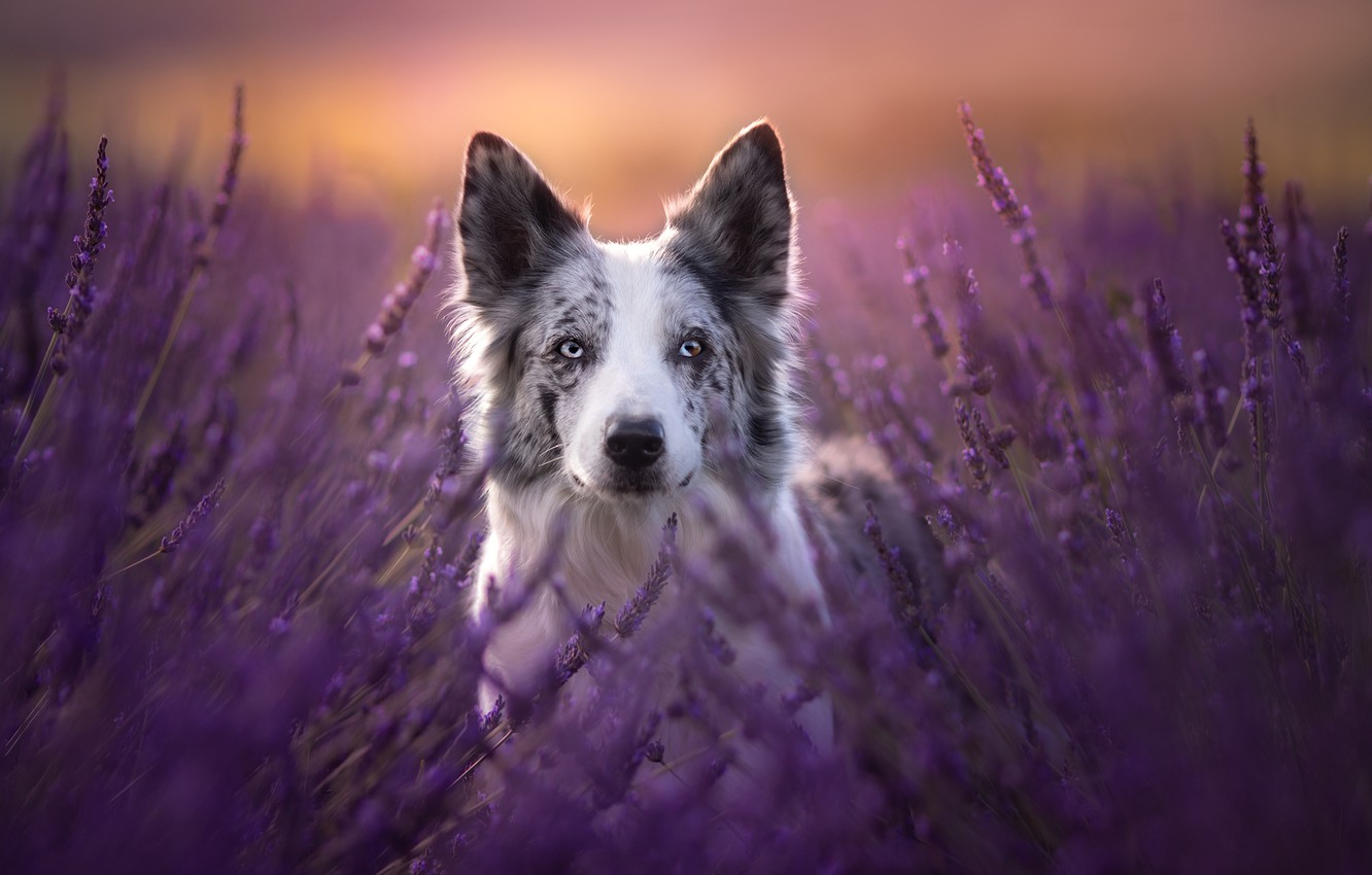 Photo wallpaper look, face, dog, lavender, The border collie