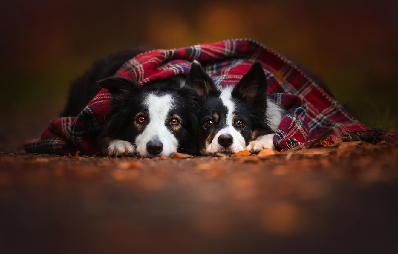 Photo wallpaper autumn, dogs, two, scarf, pair, friends