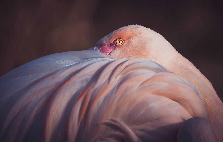 Photo wallpaper pose, the dark background, bird, wing, Flamingo, pink flamingos