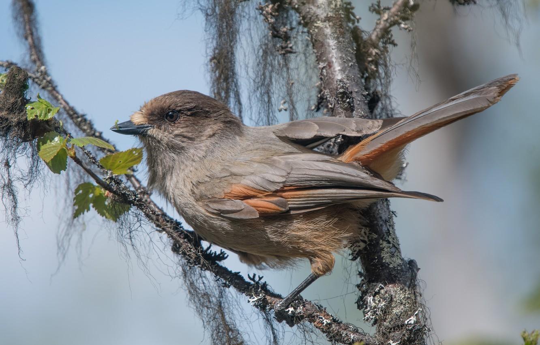 Photo wallpaper bird, branch, bird, Kuksha