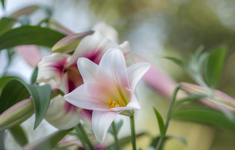 Photo wallpaper tenderness, Lily, petals