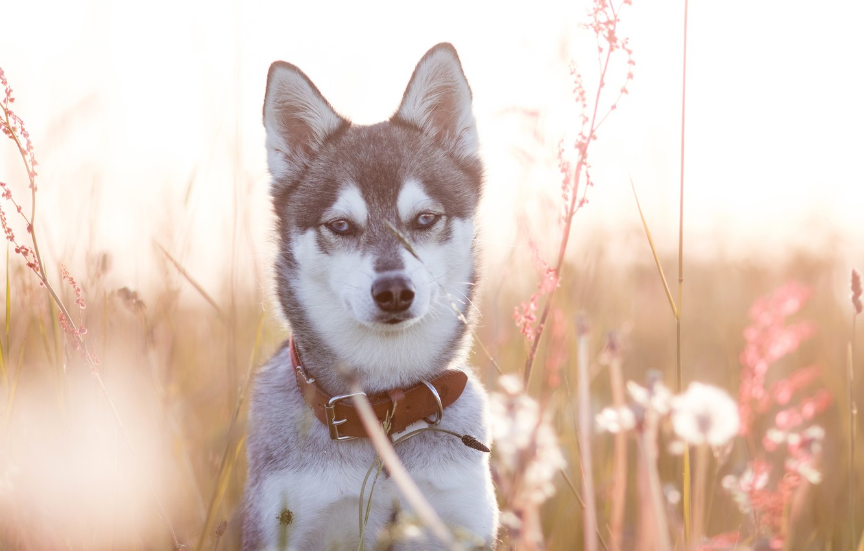Photo wallpaper grass, look, face, portrait, dog, collar, Husky