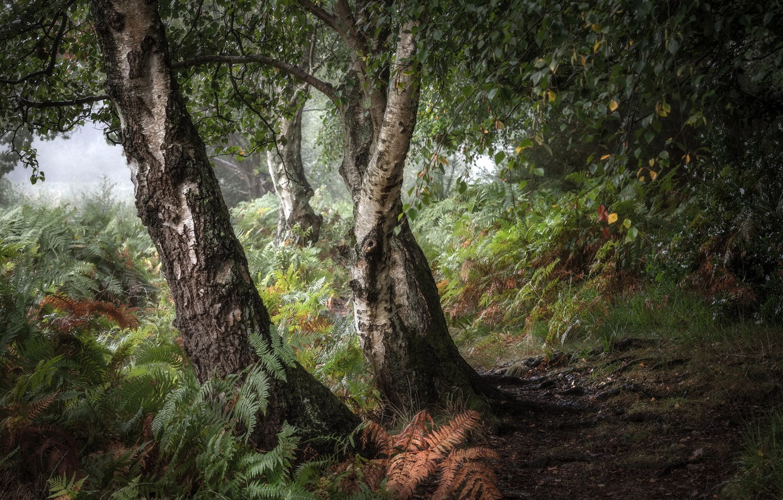 Photo wallpaper forest, nature, birch