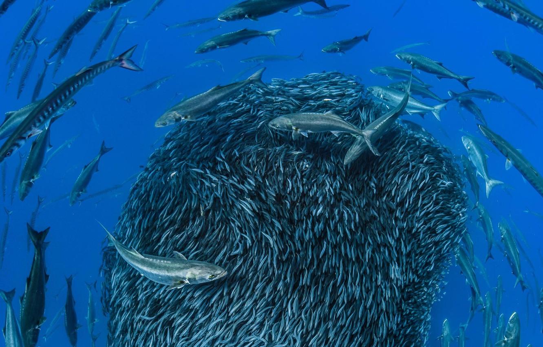 Wallpaper Sea Fish Barracuda Sardines Images For Desktop