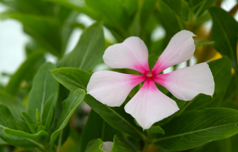 Photo wallpaper flower, Wallpaper, white flower, green leaves
