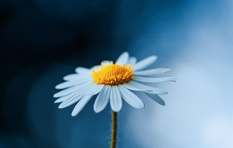 Photo wallpaper flower, macro, nature, background, Daisy
