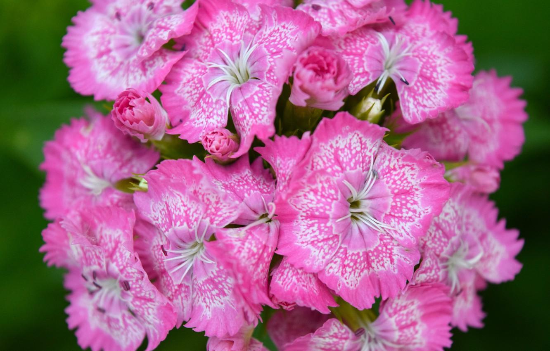 Photo wallpaper flower, summer, pink, widescreen, macro flowers nature