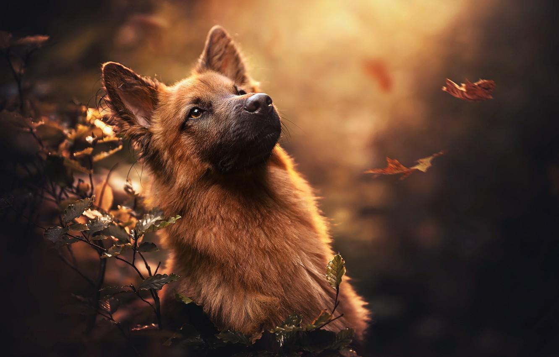 Photo wallpaper autumn, face, leaves, dog, bokeh, shepherd