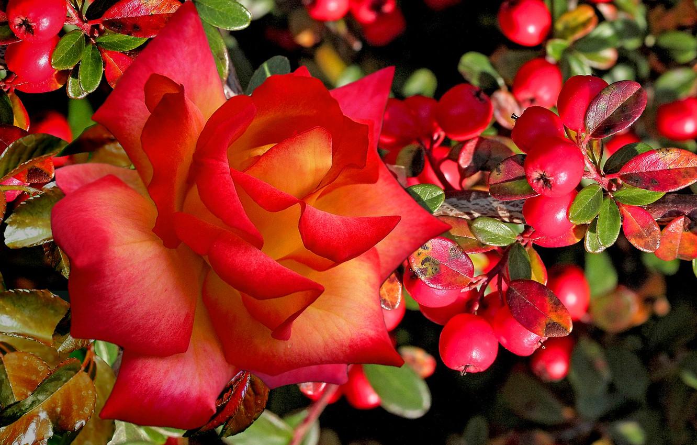 Photo wallpaper autumn, berries, beauty, Rose scarlet
