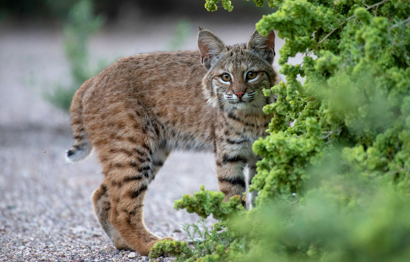 Photo wallpaper greens, look, branches, nature, pose, background, baby, track, walk, lynx, wild cat, the bushes, young, …