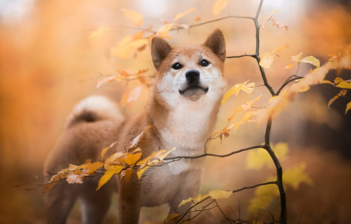 Photo wallpaper autumn, leaves, branches, nature, animal, dog, tree, dog, Shiba inu