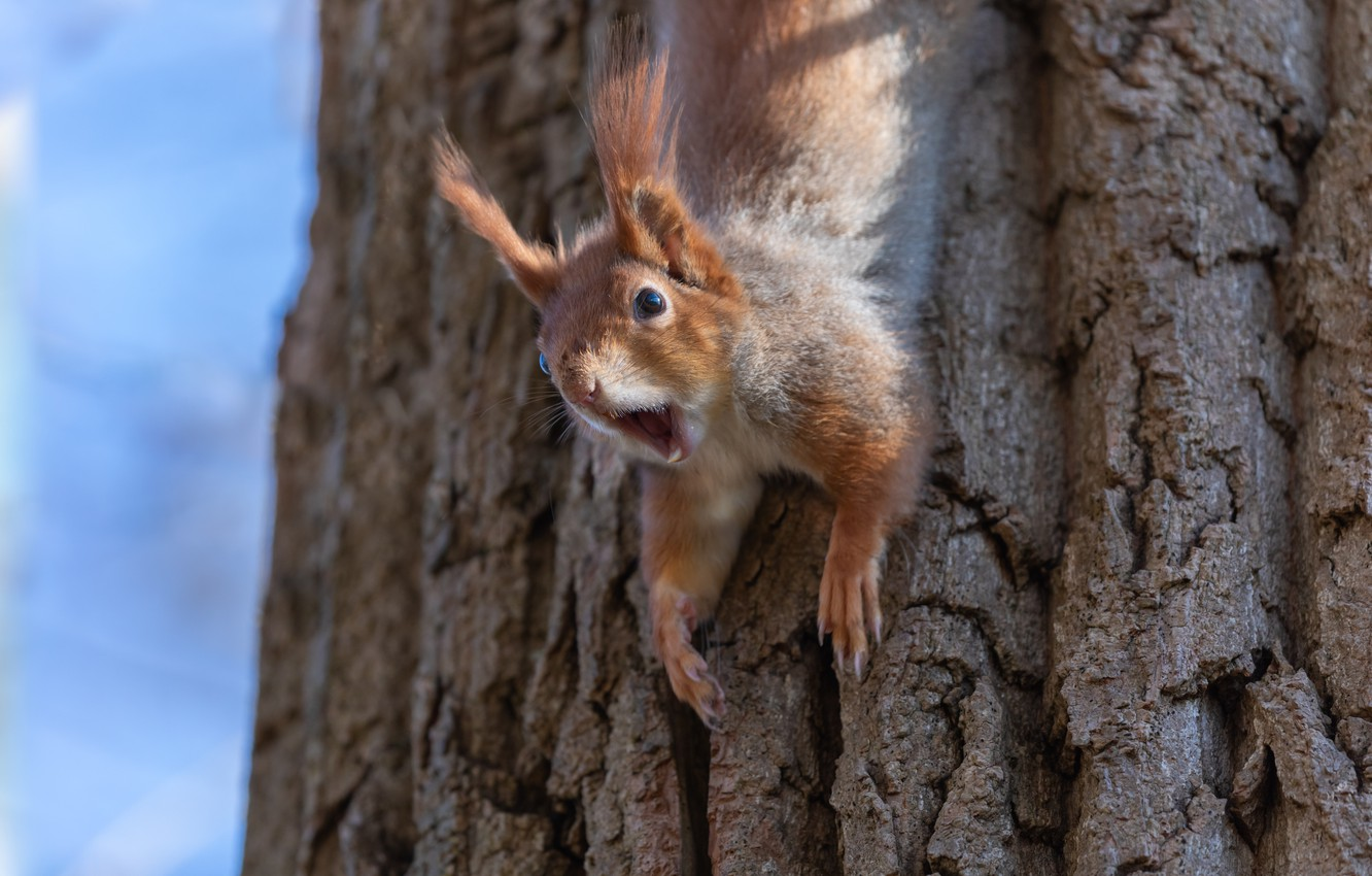 Photo wallpaper nature, tree, animal, protein, trunk, animal, rodent