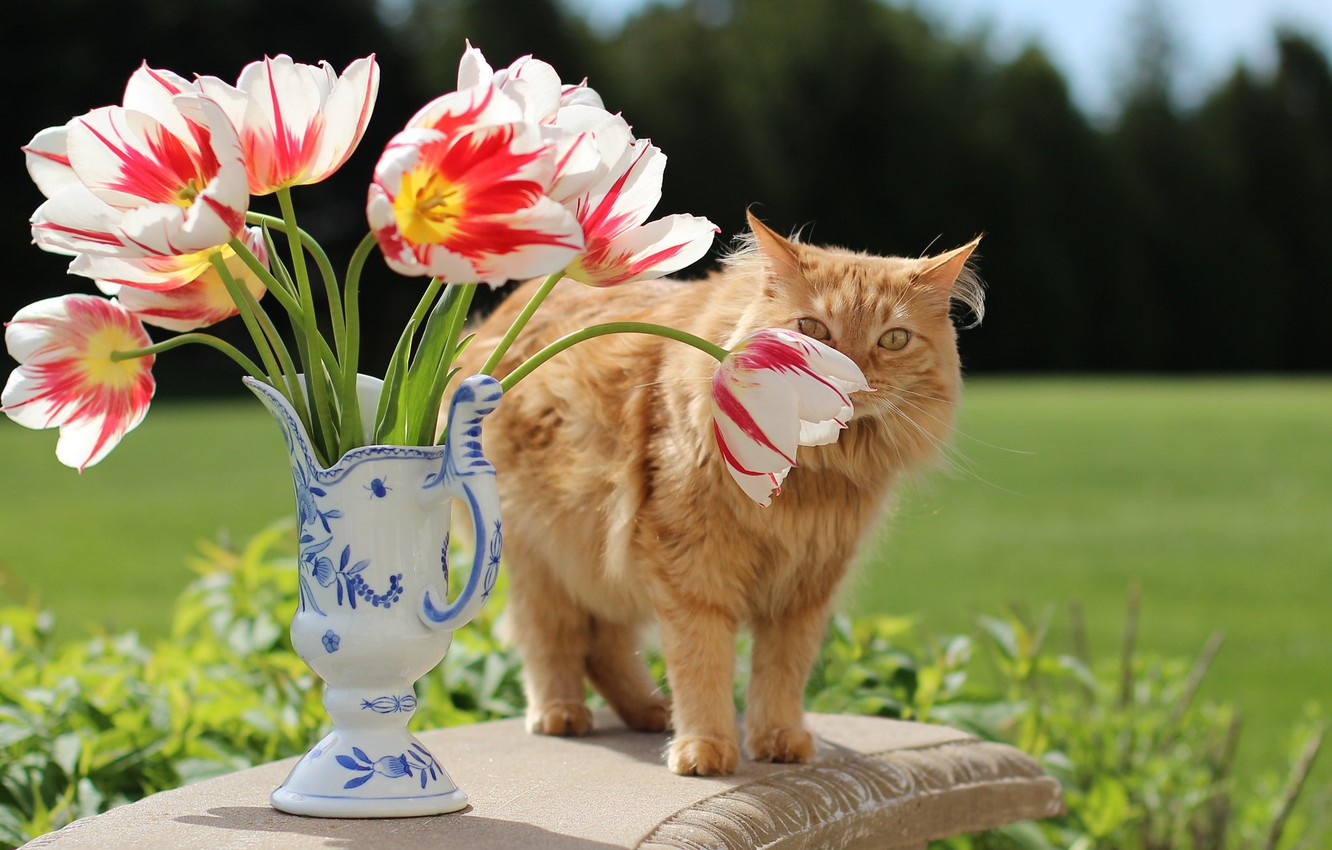 Photo wallpaper greens, cat, cat, look, flowers, table, glade, bouquet, spring, red, tulips, vase, still life, buds, …