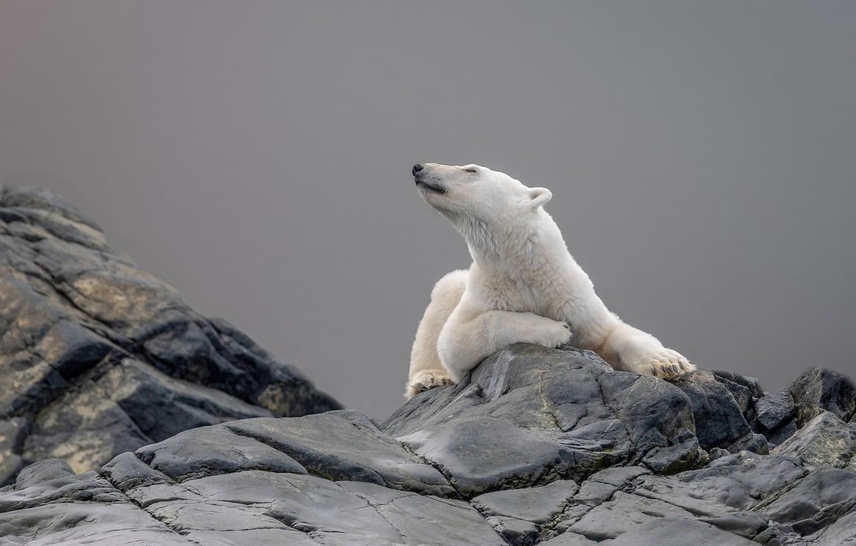 Photo wallpaper white, look, face, pose, stones, grey, background, bear, lies, polar bear