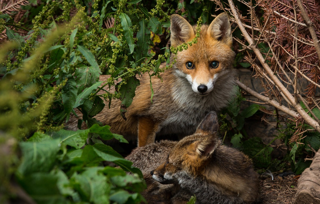 Photo wallpaper forest, look, Fox, a couple