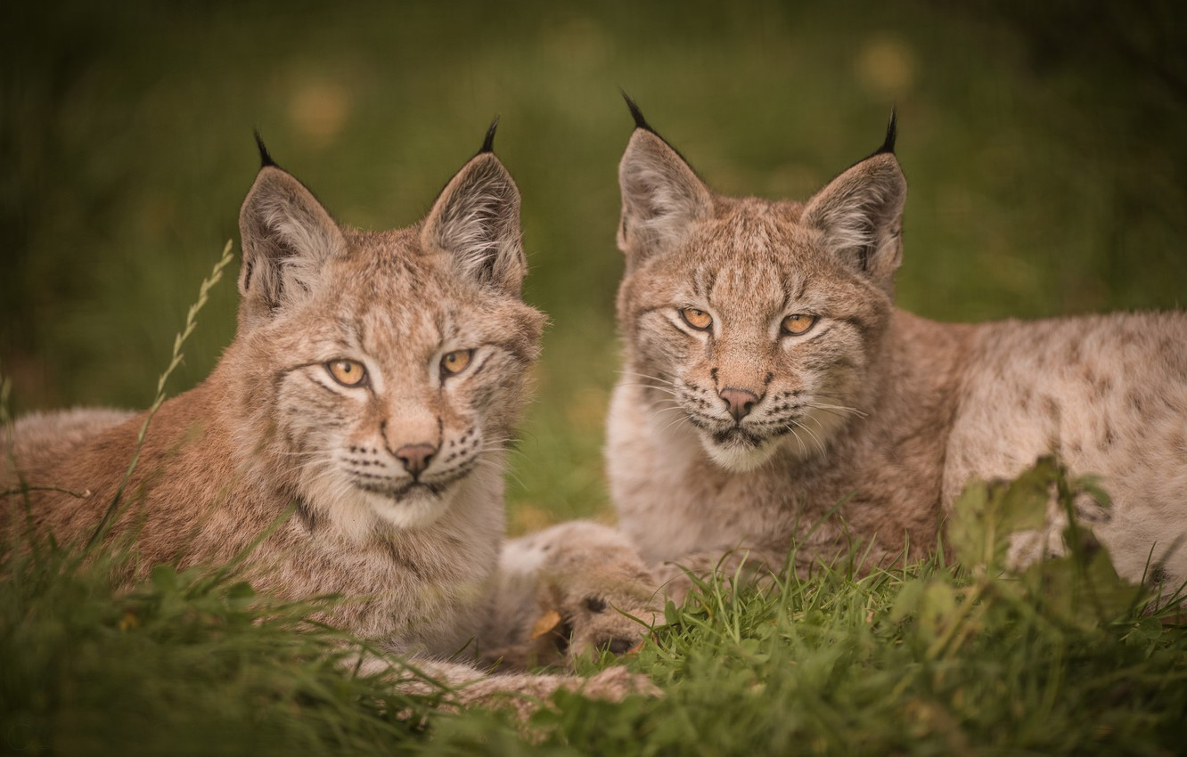 Photo wallpaper look, portrait, kittens, lynx, a couple, Duo, wild cat, cubs, the lynx