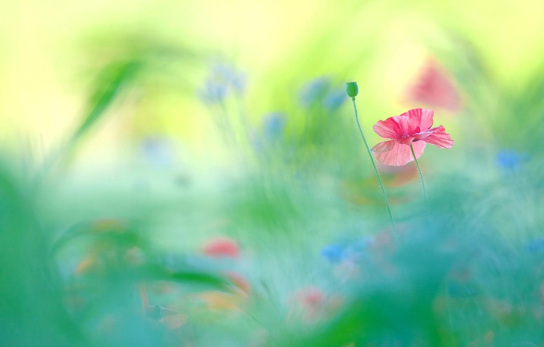 Photo wallpaper flower, flowers, background, paint, Mac, Maki