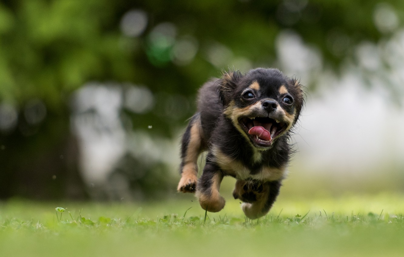Photo wallpaper language, summer, grass, eyes, face, nature, animal, dog, running, mouth, dog, bokeh