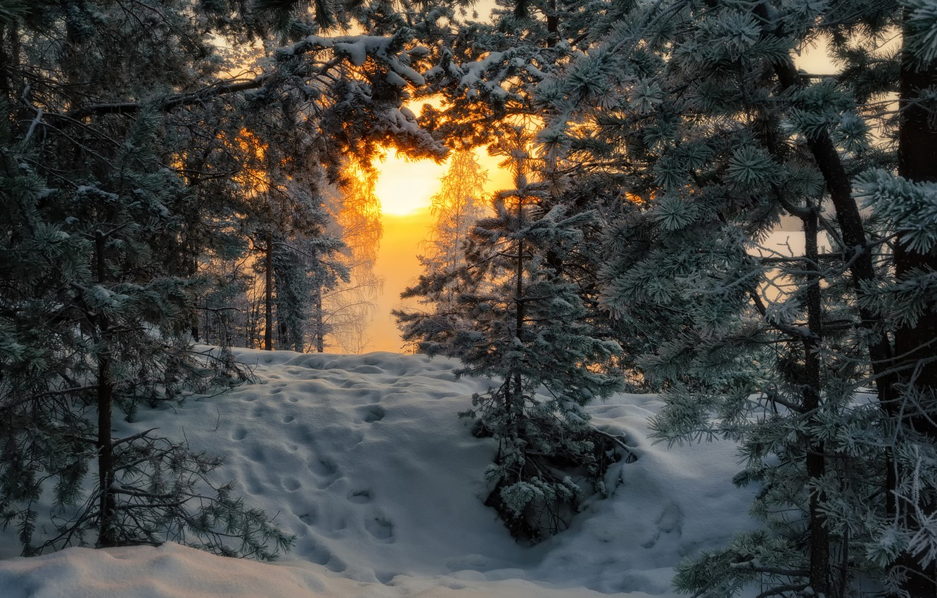 Photo wallpaper forest, morning, frost, pine
