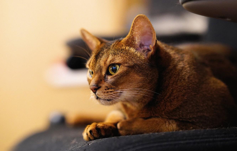 Photo wallpaper cat, look, muzzle, Abyssinian cat