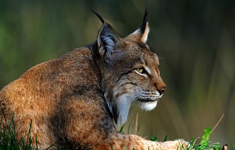 Photo wallpaper face, light, pose, background, portrait, beauty, lies, profile, ears, lynx, wild cat, brush