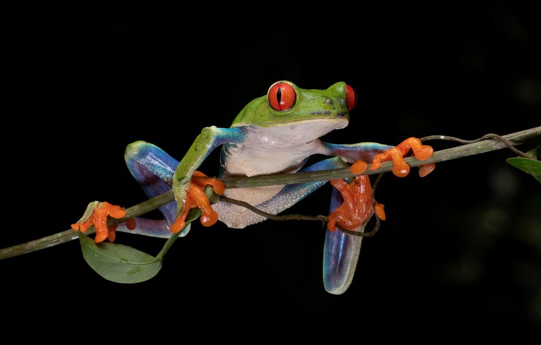 Wallpaper Frog Branch Black Background Red Eyed Tree Frog Images For Desktop Section Zhivotnye Download