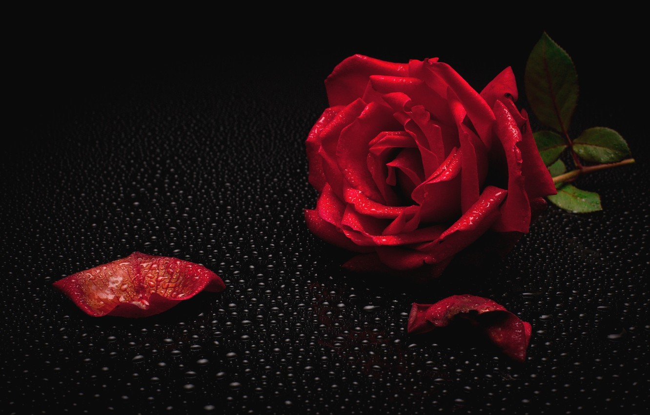 Photo wallpaper Rosa, rose, red rose, black background, water drops