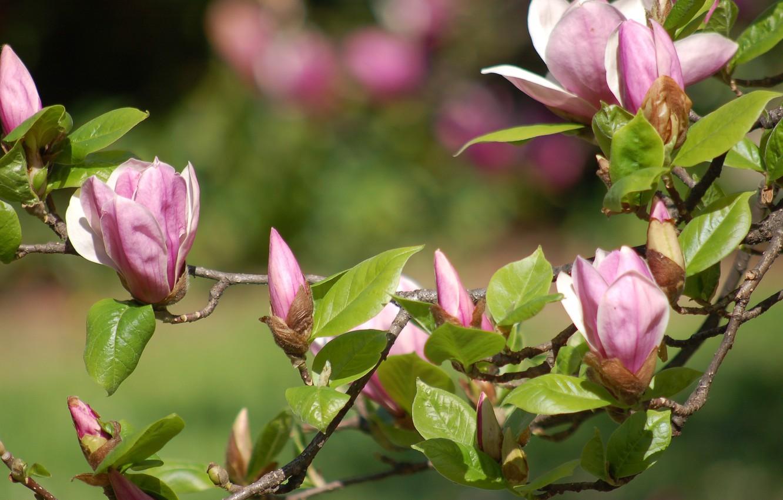 Photo wallpaper nature, branch, flowering, Magnolia