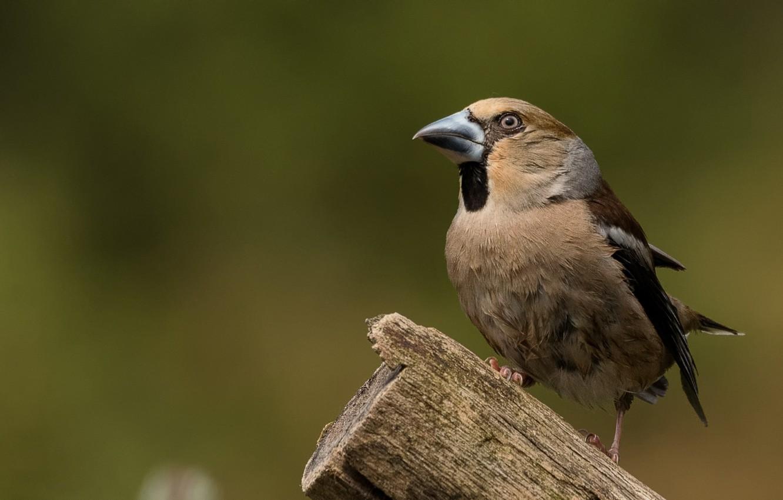 Photo wallpaper bird, column, Grosbeak