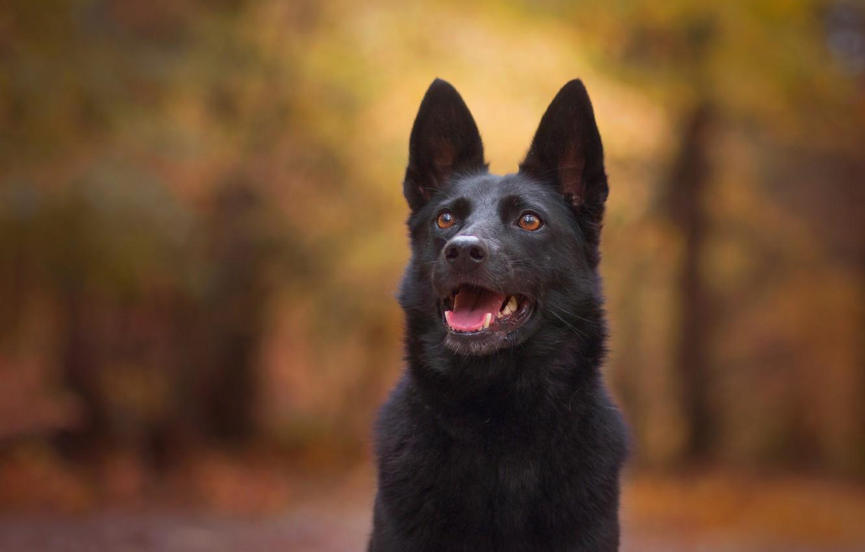 Wallpaper Face Background Dog Bokeh German Shepherd