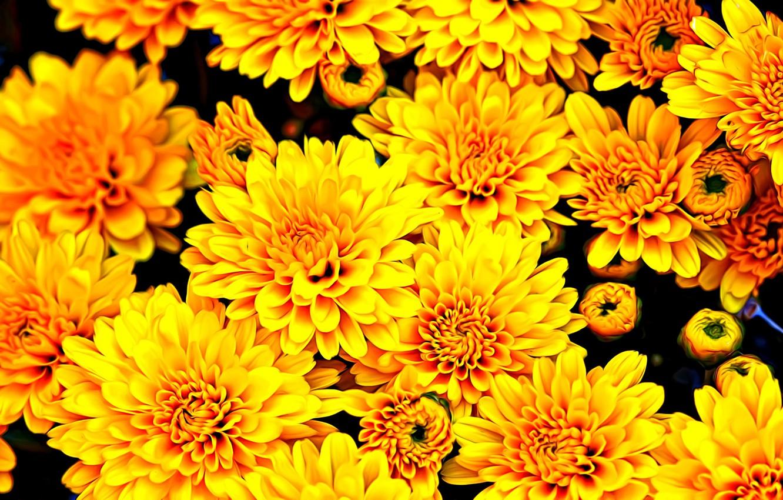 Photo wallpaper flowers, rendering, Wallpaper, paint, yellow, petals, buds, chrysanthemum, autumn gift