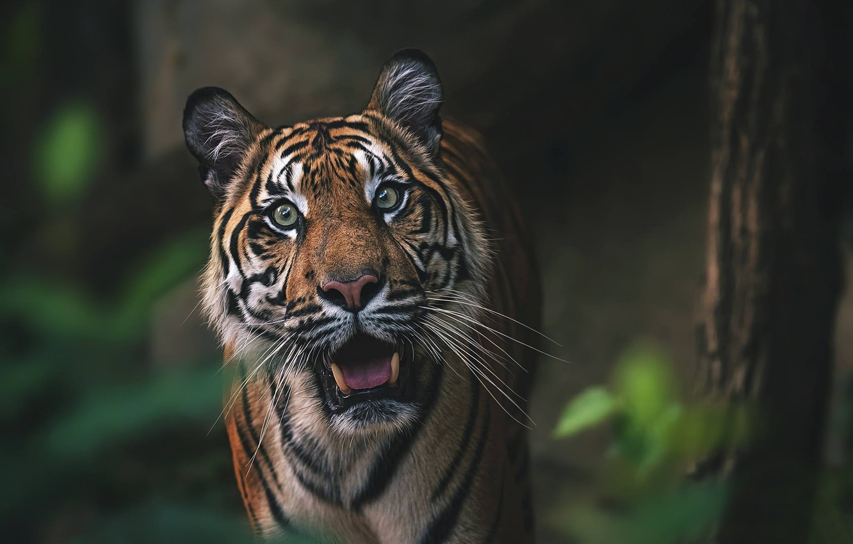 Photo wallpaper look, face, tiger, wild cat, bokeh