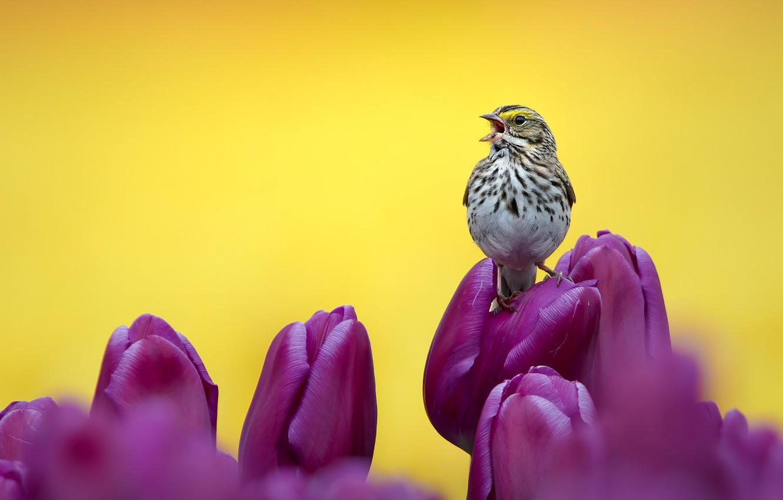 Photo wallpaper flowers, bird, purple, tulips, bird, buds, yellow background, This Savannah Sparrow