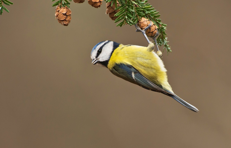 Photo wallpaper bird, branch, needles, bumps, tit