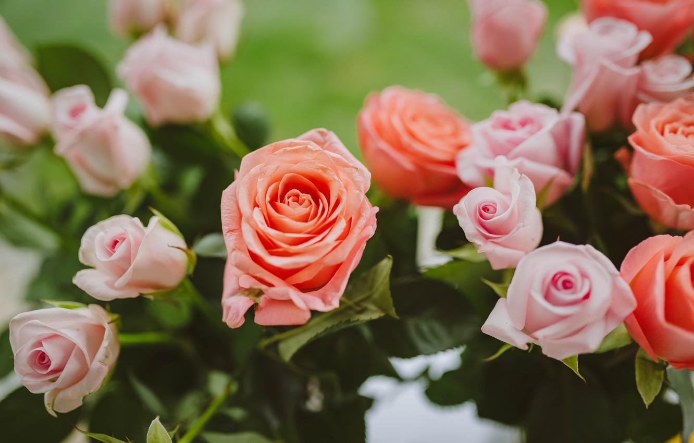 Photo wallpaper roses, beautiful flowers, light pink