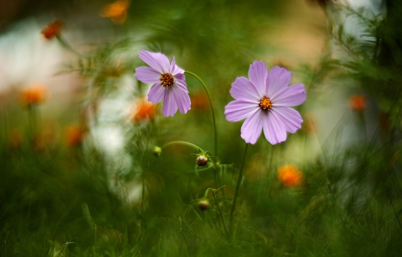 Photo wallpaper summer, grass, flowers, nature, buds, cosmos