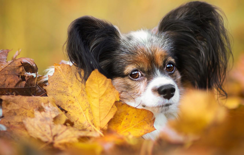 Photo wallpaper autumn, look, leaves, foliage, portrait, dog, muzzle, puppy, face, dog, cutie, baby, decorative, Papillon, Papillon