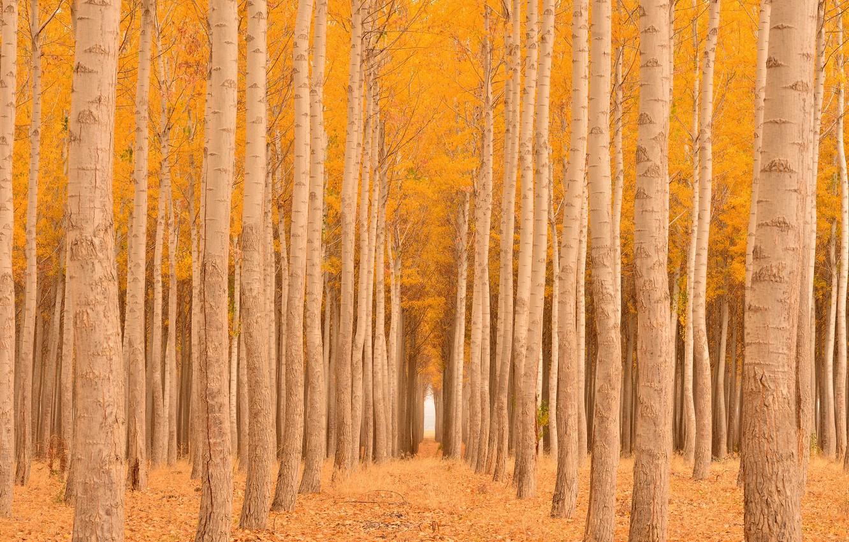 Photo wallpaper autumn, forest, foliage, alley, the ranks, yellow, aspen