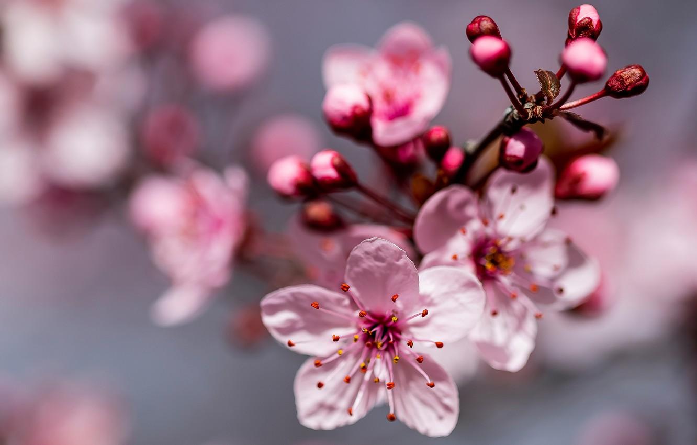 Photo wallpaper macro, cherry, branch, spring, flowering, flowers, bokeh, cherry blossoms, buds