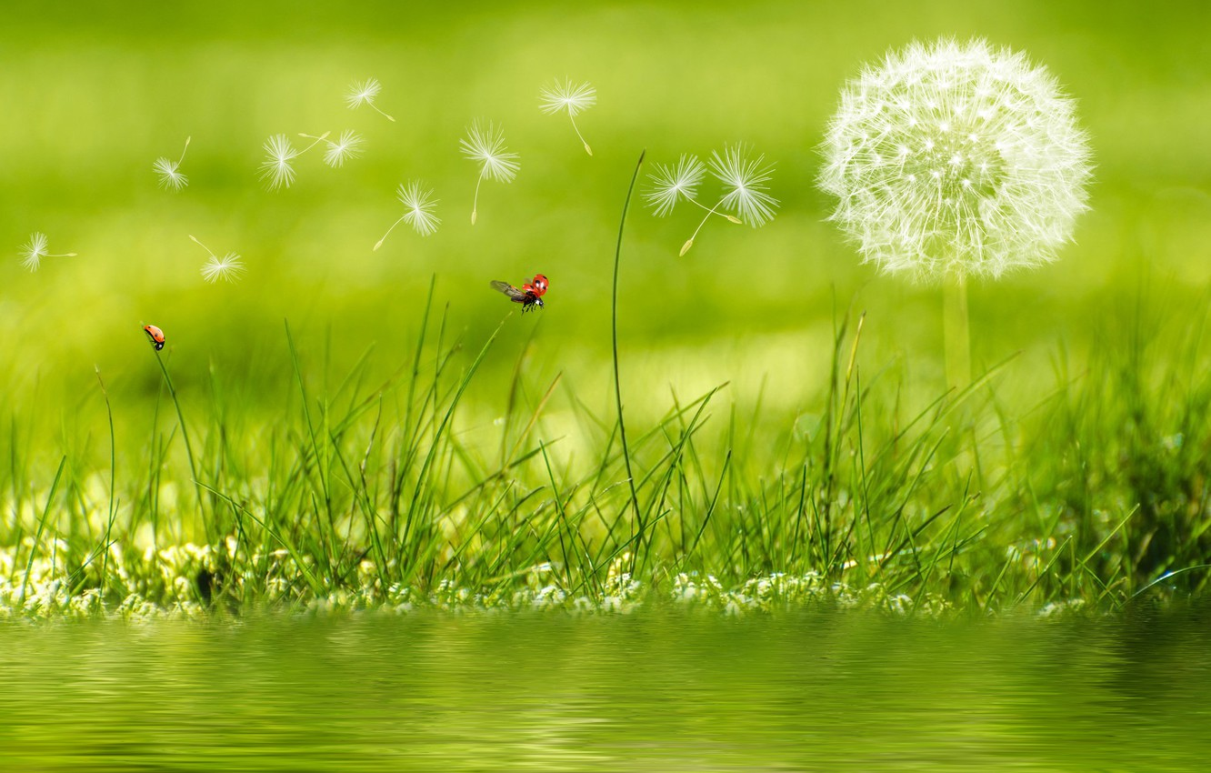 Photo wallpaper macro, photo, dandelion, ladybug